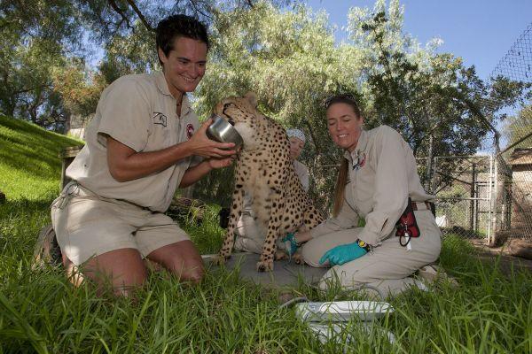 Cheetah in San Diego Zoo Safari