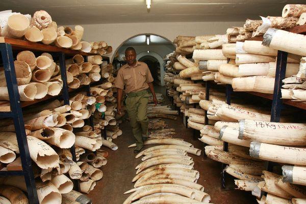 Elephant tusks & Rhino Horns Zimbabwe