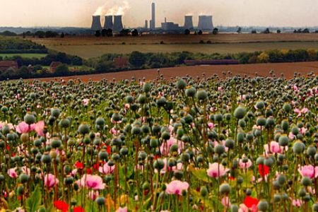 Poppy crop in UK