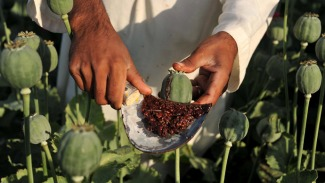 Afghan Farmer collecting Raw Opium