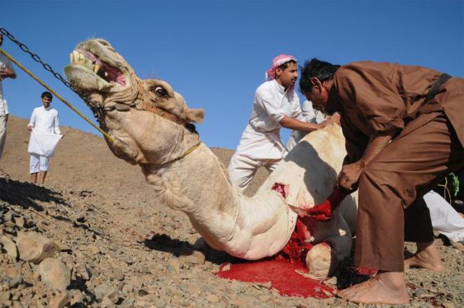 Saudi Bans Camel Slaughter During Hajj Pilgrimage